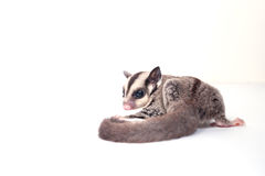 Little sugar-glider on white background Royalty Free Stock Image