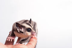 Little sugar-glider on white background Stock Photo