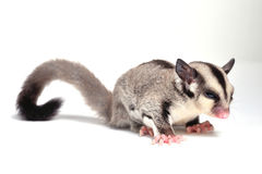 Little sugar-glider Royalty Free Stock Photo