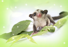 Little sugarglider so cute Royalty Free Stock Images