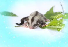 Little sugarglider so cute Royalty Free Stock Photography