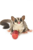 Little sugarglider with grape fruit Stock Photography
