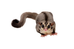 Little sugarglider looking forward. Stock Photo