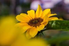Little Sunflower. A sunflower garden in DAlat, Vietnam Stock Photography