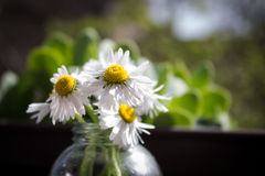 Little sunshines. Fresh little daisies in a vase lit by sun Stock Images