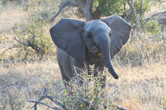 Little surprised the baby elephant with open ears Royalty Free Stock Photo