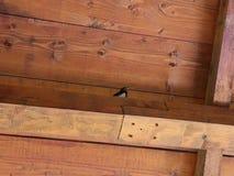 Little swallow stock video footage