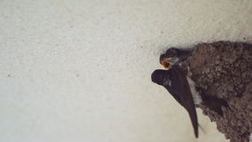 Little Swallow Open Mouth 120fps Slow Motions, Waiting for His Mother, Who Will Eat stock footage
