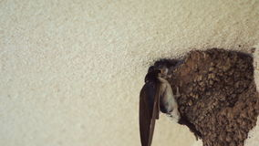 Little Swallow Open Mouth, Waiting for His Mother, Who Will Eat 120fps Slow Mo stock video footage