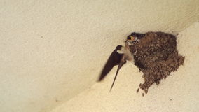 Little Swallow Open Mouth, Waiting for His Mother, Who Will Eat 120fps Slow Motion