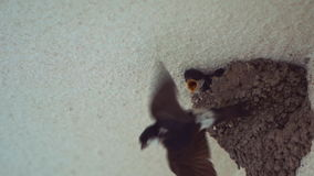 Little Swallow Open Mouth, Waiting for His Mother, Who Will Eat 120fps Slow Motions stock video