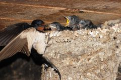 Little swallows feeding in their nest Stock Photos