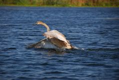 Little Swan Stock Image