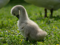 Little swan. Taken against the swan chick Royalty Free Stock Images