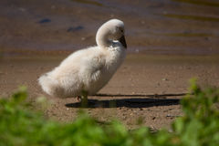 Little swan royalty free stock photo