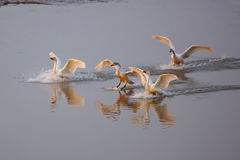 Little swans Stock Photography