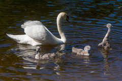 Little swans with mother royalty free stock photos