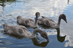 Little swans on a pond Stock Photography