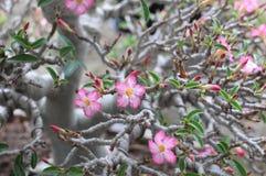 Little Sweet Desert Rose Flower Stock Photography