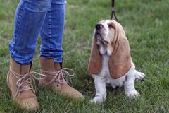 The little sweet puppy with his owner for the first time goes for a walk. The little sweet puppy Basset Hound with his owner for the first time goes for a walk stock photo