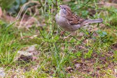 Little sweet sparrow, lives his life carefree and in freedom. Always looking for food Stock Photos
