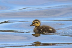 Little Swimming Duckling. A little mallard duckling swimming on a pond Stock Photography