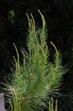 Little sylvan pine. Details Royalty Free Stock Images