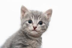 Little tabby-cat portrait stock image