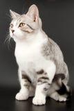 Little tabby kitten Royalty Free Stock Photos