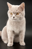 Little tabby kitten Stock Photography