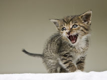 Little tabby kitten meowing on the blanket Royalty Free Stock Image