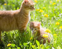 Little tabby kitten with mother cat Royalty Free Stock Photos