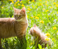 Little tabby kitten with mother cat Stock Image