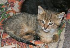 Little tabby kitten Royalty Free Stock Image