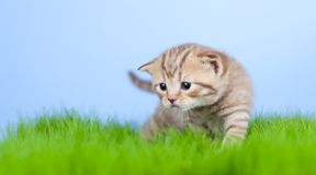 Little tabby kitten Scottish on grass Stock Images