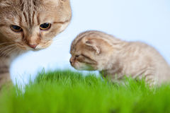 Little tabby kitten Scottish with mother cat Stock Images