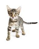 Little Tabby Kitten Walking Forward Stock Photos