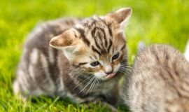 Little tabby kittens playing on the grass stock image