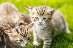 Little Tabby Kittens Playing On The Grass Stock Images