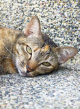 The little tabby sleeping stare. The little cat was lying in the corner of the building Royalty Free Stock Photography