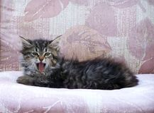 Little Taby kitten yawning on a patio chair Royalty Free Stock Photos