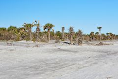 Little Talbot Island State Park, Florida. Palm trees along the beach at Little Talbot Island State Park near Jacksonville, Florida royalty free stock image