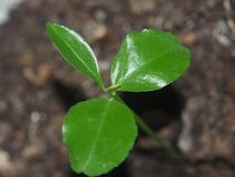 A little tangerine tree sprout. The photo shows a stem and sever. Al leaves. Close up royalty free stock photos