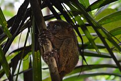 Little Tarsier on the island Bohol in Philippines Stock Images