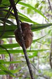 Little Tarsier on the island Bohol in Philippines Stock Photography