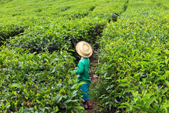Little tea picker Royalty Free Stock Images