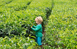 Little tea picker Royalty Free Stock Image