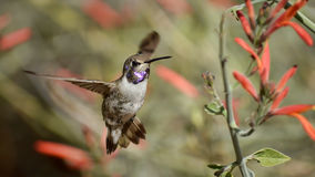 A Little Tease. A splendid closeup of a gorgeous hummingbird as it comes near the camera to say Hello Stock Photos