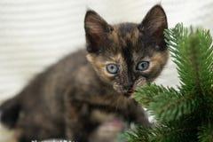 Little tech-colored kitten ships spruce stock photo