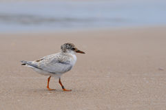 Little Tern chick Royalty Free Stock Photo